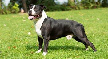 Americký stafordšírsky teriér Najlepší spoločenský pes