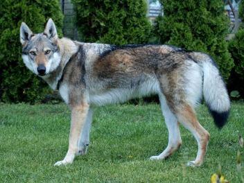kríženec vlka a psa