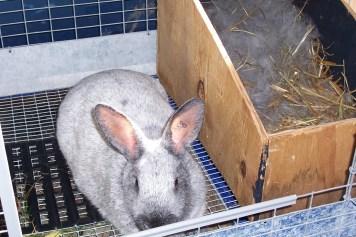 Kŕmenie gravidného králika Gravidita u králikov