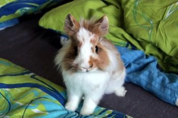 Lev-levík Top 10 plemien králikov chovaných ako domáci miláčik