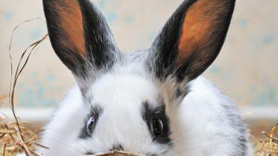 Najčastejšie choroby králikov