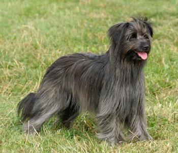Pyrenejský ovčiak Francúzske plemená psov