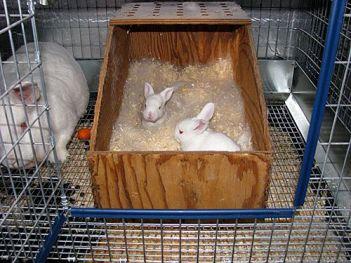 Umiestnenie gravidného králika Gravidita u králikov