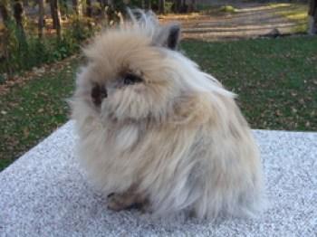 Zakrslý králik s teddy génom