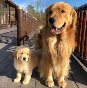Zlatý retríver Najlepší spoločenský pes