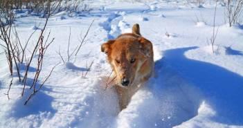 brodenie sa snehom Prechádzka so psom : 10 tipov pre zimu . Čo všetko treba vedieť pri prechádzke so psom v zime ? Prechádzka so psom  počas zimi môže byť trochu