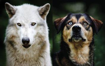 podobnosť psa a vlka