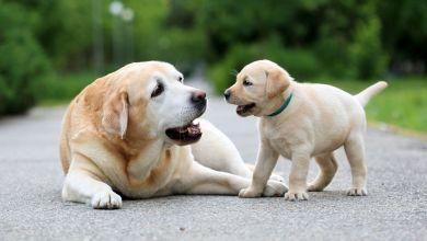 stary a mlady pes