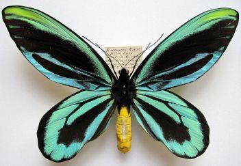 Vtákokrídlovec Alexandrin ( 28 cm ) Najväčší motýľ na svete