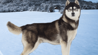 Sibírsky husky plemeno psa z Ruska