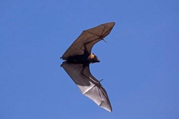 Ostrovná lietajúca líška Najväčší netopier