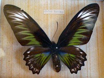 Troides hypolitus ( 20 cm ) Najväčší motýľ