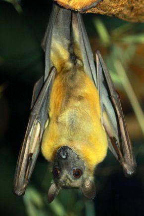 Kaloň plavý Najväčší netopier