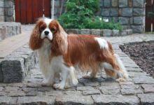 Najlepšie psy, plemena psov pre prvých majiteľov