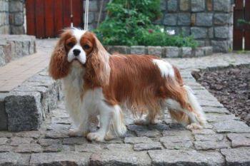 Gavalieršpaniel Kráľ Karol plemena psov pre prvých majiteľov