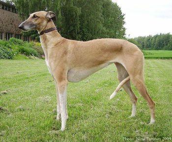 Hortaya borzaya Plemená psov z Ukrajiny  psy
