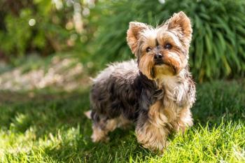 Jorkšírsky teriér plemena psov pre prvých majiteľov