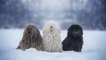 Puli Maďarské plemena psov psy