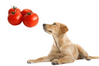 moze pes paradajky Ovocie a zelenina ktorú Psy môžu alebo nemôžu jesť