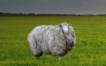 ovca na vlnu