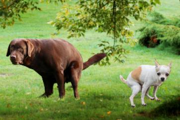 prečo pes hnačkuje
