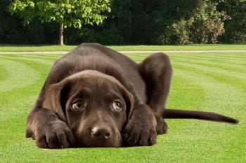 prečo pes kňučí