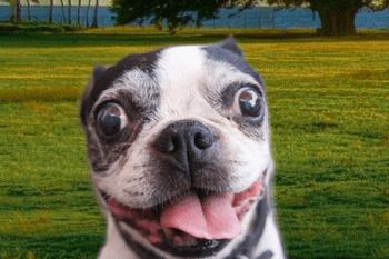 rýchle dýchanie u psov