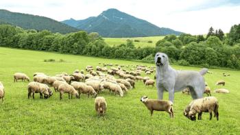 strážca oviec