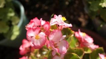 Begónia Kvety na balkón