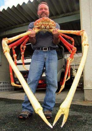 Veľkrab japonský Najväčšie morské tvory