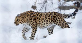 Chránené zvieratá Leopard škvrnitý amurský