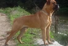 bullmastif pes Plemena psov vhodné do veľkej záhrady
