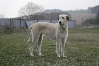 irsky vlkodav pes Plemena psov vhodné do veľkej záhrady