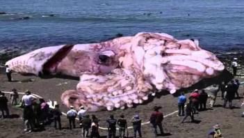Kalmár Najväčšie morské tvory