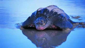 Morské korytnačky
