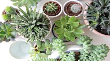 Sukulent kaktu na balkon Kvety na balkón