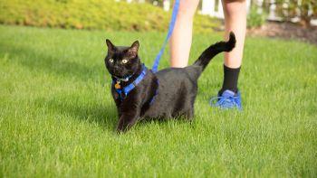 Ako vycvičiť mačku kráčať na vodítku
