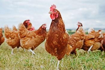 Sliepky Zvieratá na farmu