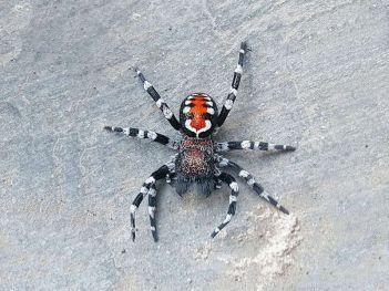 Zvieratá objavené v roku Výrazný nový zamatový pavúk pomenovaný po hercovi Joaquinovi Phoenixovi