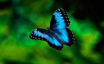 Motýl Morpho