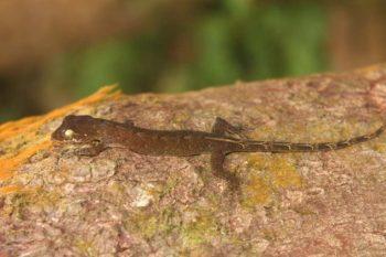 Falošný gekón nájdený na Filipínach