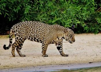 Zvieratá z Dažďového pralesa  Jaguár americký