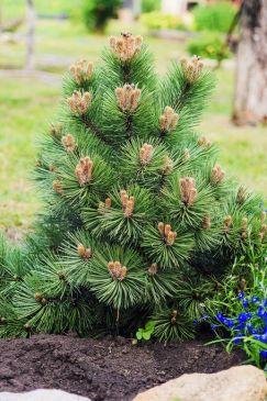 Trpasličia borovica Rastliny do záhrady