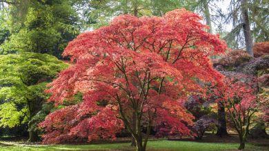 Japonský javor Rastliny do záhrady
