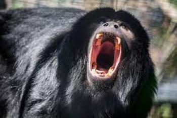 Zvieratá z Dažďového pralesa  Vrešťan čierny