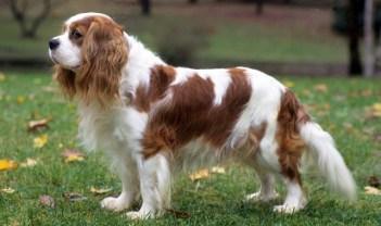 Gavalieršpaniel Kráľ Karol pes pre ženy