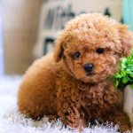 Poodle Teacup All Pet Naturals Blog Giving Your Pet Longer Life Happiness And Vitality The Natural Way