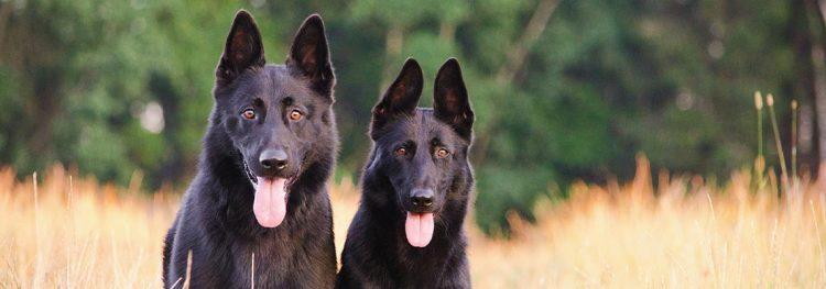 Gedragsdeskundige hond