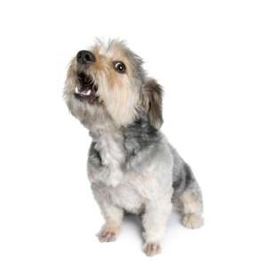 Dog Request Barking