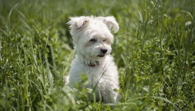Bichon Frise for people with allergies